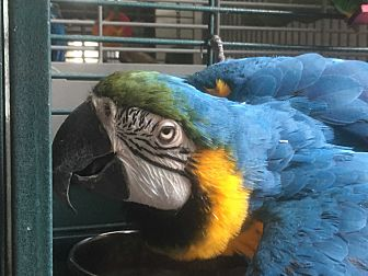 Macaw for adoption in Punta Gorda, Florida - Lucky