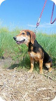 Basset Hound/Beagle Mix Dog for adoption in Albuquerque, New Mexico - Wilma