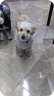 Maltese/Poodle (Toy or Tea Cup) Mix Dog for adoption in San Diego, California - Elvis