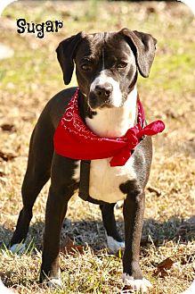 Terrier (Unknown Type, Medium)/Boston Terrier Mix Puppy for adoption in Glastonbury, Connecticut - Sugar