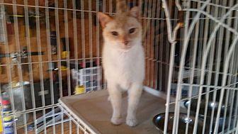 Siamese Cat for adoption in Bronson, Florida - Blue