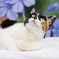 Domestic Shorthair Cat for adoption in Houston, Texas - Addison