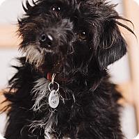 Adopt A Pet :: Bohdi - Portland, OR
