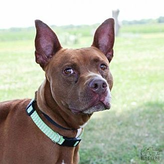 Pit Bull Terrier Dog for adoption in Troy, Illinois - Cherry