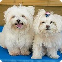 Adopt A Pet :: Juliette - Santa Fe, TX