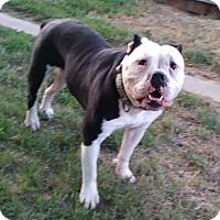 English Bulldog Dog for adoption in Ceres, California - Hannible
