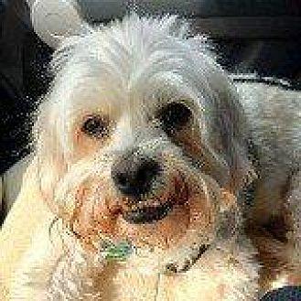 Lhasa Apso/Poodle (Standard) Mix Dog for adoption in Hampton, Virginia - BRUNO