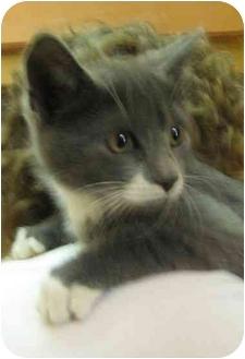 Domestic Shorthair Kitten for adoption in Jenkintown, Pennsylvania - Jesse