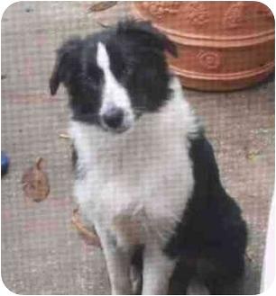 Australian Shepherd Puppy for adoption in Orlando, Florida - Cindy