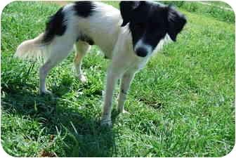 Border Collie Mix Dog for adoption in Bunkie, Louisiana - Skye