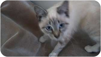 Siamese Kitten for adoption in Simpsonville, South Carolina - Sunshine
