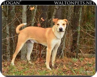 Labrador Retriever/Shepherd (Unknown Type) Mix Dog for adoption in Monroe, Georgia - Logan