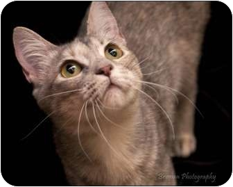 Domestic Shorthair Cat for adoption in Houston, Texas - Angel