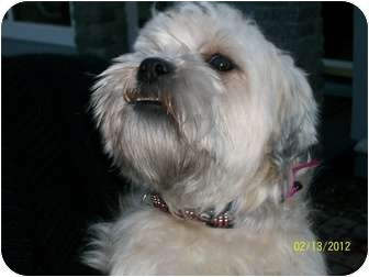 Shih Tzu/Terrier (Unknown Type, Small) Mix Dog for adoption in Castro Valley, California - Shanti