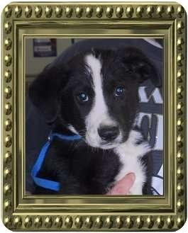 Border Collie Mix Puppy for adoption in Belvidere, Illinois - Gabel