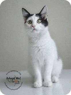 Turkish Van Cat for adoption in Phoenix, Arizona - Spencer