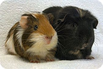 Guinea Pig for adoption in Lewisville, Texas - Sweetie and Quin