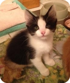 Domestic Longhair Kitten for adoption in West Des Moines, Iowa - Linus