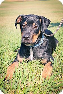 German Shepherd Dog/Doberman Pinscher Mix Puppy for adoption in Sacramento, California - Harvey