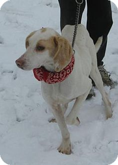 Foxhound Mix Dog for adoption in Mineral, Virginia - Chrissy