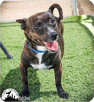 Chihuahua/Dachshund Mix Dog for adoption in Phoenix, Arizona - Raylee