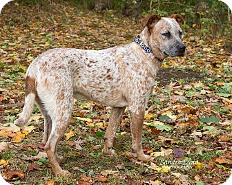 Cattle Dog/Catahoula Leopard Dog Mix Puppy for adoption in Newtown, Connecticut - Watson