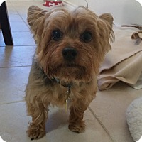 Adopt A Pet :: Oliver P - Fort Worth, TX