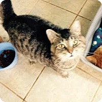 Domestic Shorthair Cat for adoption in East Smithfield, Pennsylvania - Frisky