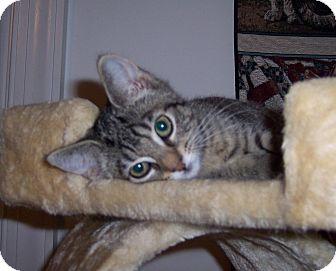 Domestic Shorthair Kitten for adoption in Richmond, Virginia - Pru