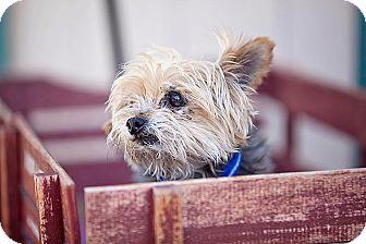Yorkie, Yorkshire Terrier Dog for adoption in Fallbrook, California - Sonny