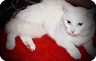 Domestic Mediumhair Cat for adoption in Xenia, Ohio - Elsa