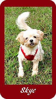 Shih Tzu Dog for adoption in Hillsboro, Texas - Skye