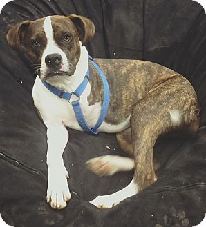 Boxer Mix Dog for adoption in Weatherford, Texas - Betty