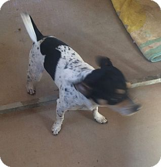 Terrier (Unknown Type, Small) Mix Dog for adoption in Post, Texas - Speck