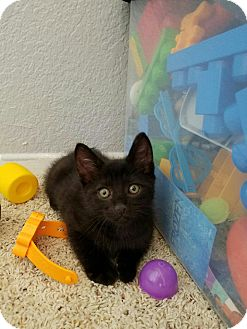 Domestic Shorthair Kitten for adoption in Palmdale, California - Maverick