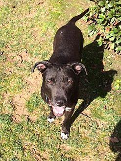 Labrador Retriever/Pit Bull Terrier Mix Dog for adoption in Alpharetta, Georgia - Mulan