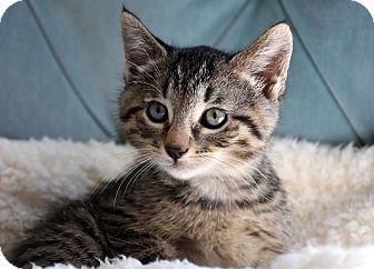 Domestic Shorthair Kitten for adoption in Bristol, Connecticut - Han-PENDING