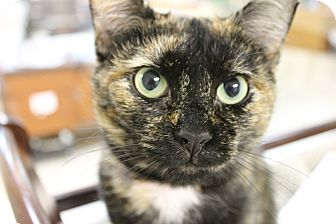 Domestic Shorthair Cat for adoption in Medina, Ohio - Marie