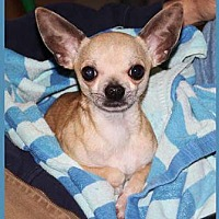 Adopt A Pet :: Pikachu - South Bend, IN
