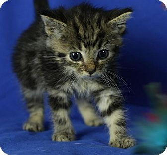 Domestic Shorthair Kitten for adoption in Winston-Salem, North Carolina - Eclipse