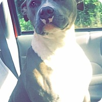 American Pit Bull Terrier Dog for adoption in Mount Olive, Alabama - Xena