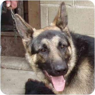 German Shepherd Dog Puppy for adoption in Dunkirk, New York - Sac