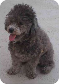 Miniature Poodle Puppy for adoption in Melbourne, Florida - KOULA