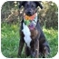 Photo 2 - Catahoula Leopard Dog/Terrier (Unknown Type, Small) Mix Dog for adoption in Portsmouth, Rhode Island - Belle