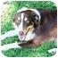 Photo 2 - Australian Shepherd Dog for adoption in Orlando, Florida - Chance
