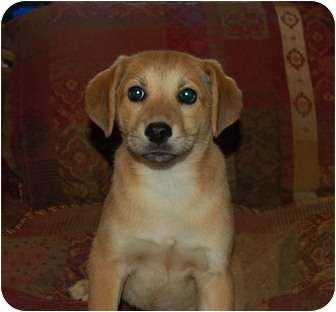 Labrador Retriever/Shar Pei Mix Puppy for adoption in Chula Vista, California - Ginger Girl