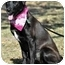 Photo 4 - Labrador Retriever/Boxer Mix Dog for adoption in Portsmouth, Rhode Island - Claire- absolute sweetheart!