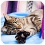 Photo 2 - Domestic Shorthair Cat for adoption in Houston, Texas - Jefferson