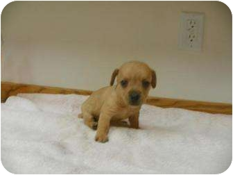 Chihuahua/Dachshund Mix Puppy for adoption in Roosevelt, Utah - Scout