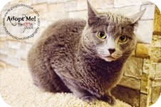 Domestic Mediumhair Cat for adoption in Okotoks, Alberta - Iris